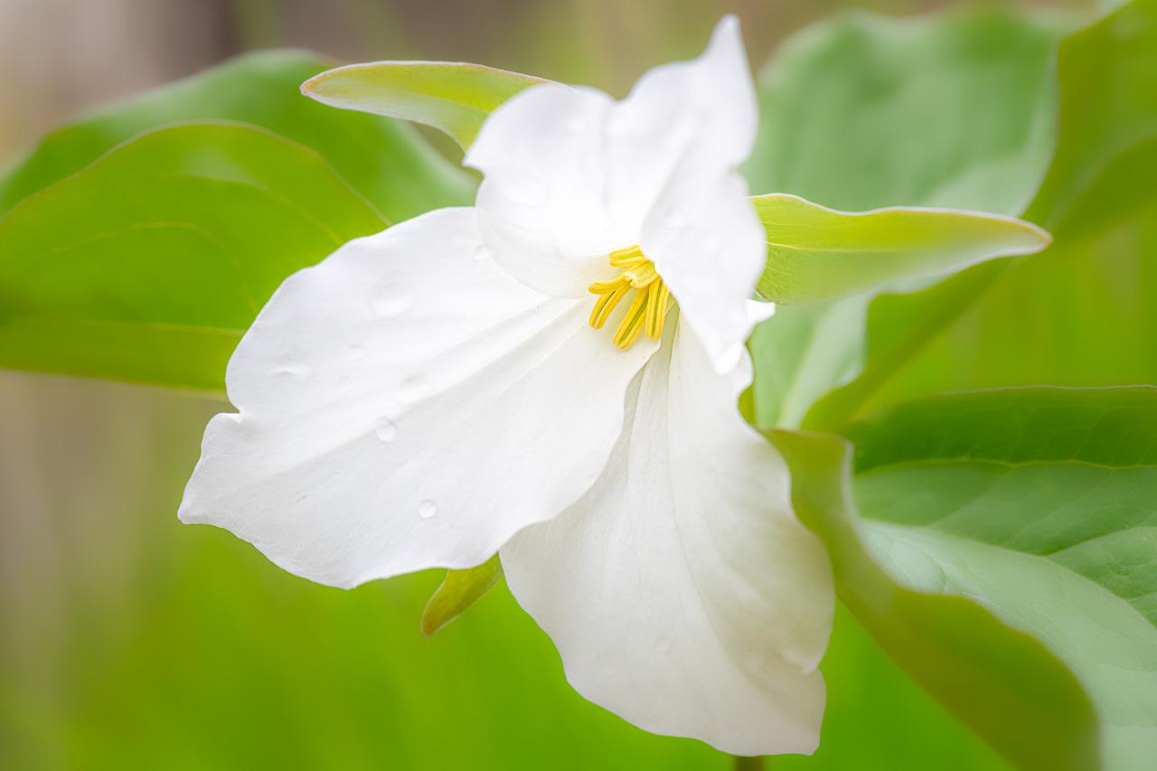 Spring Trillium