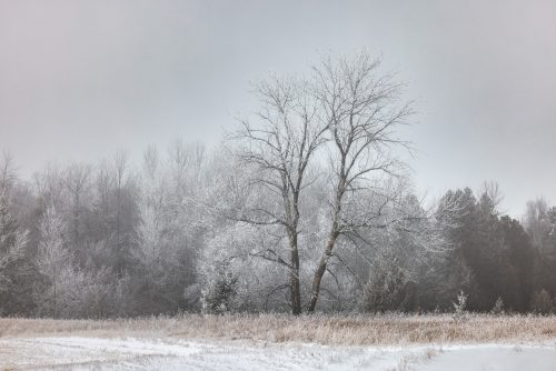 Frosty Trees