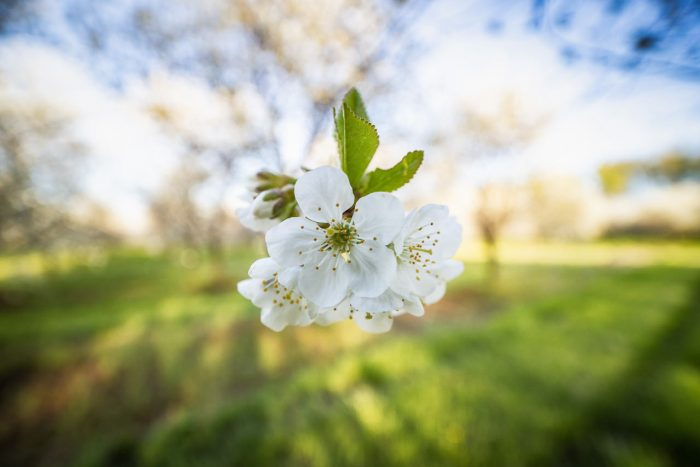 Blooming in the Orchard