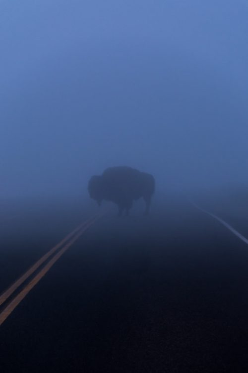 Bison Shadow