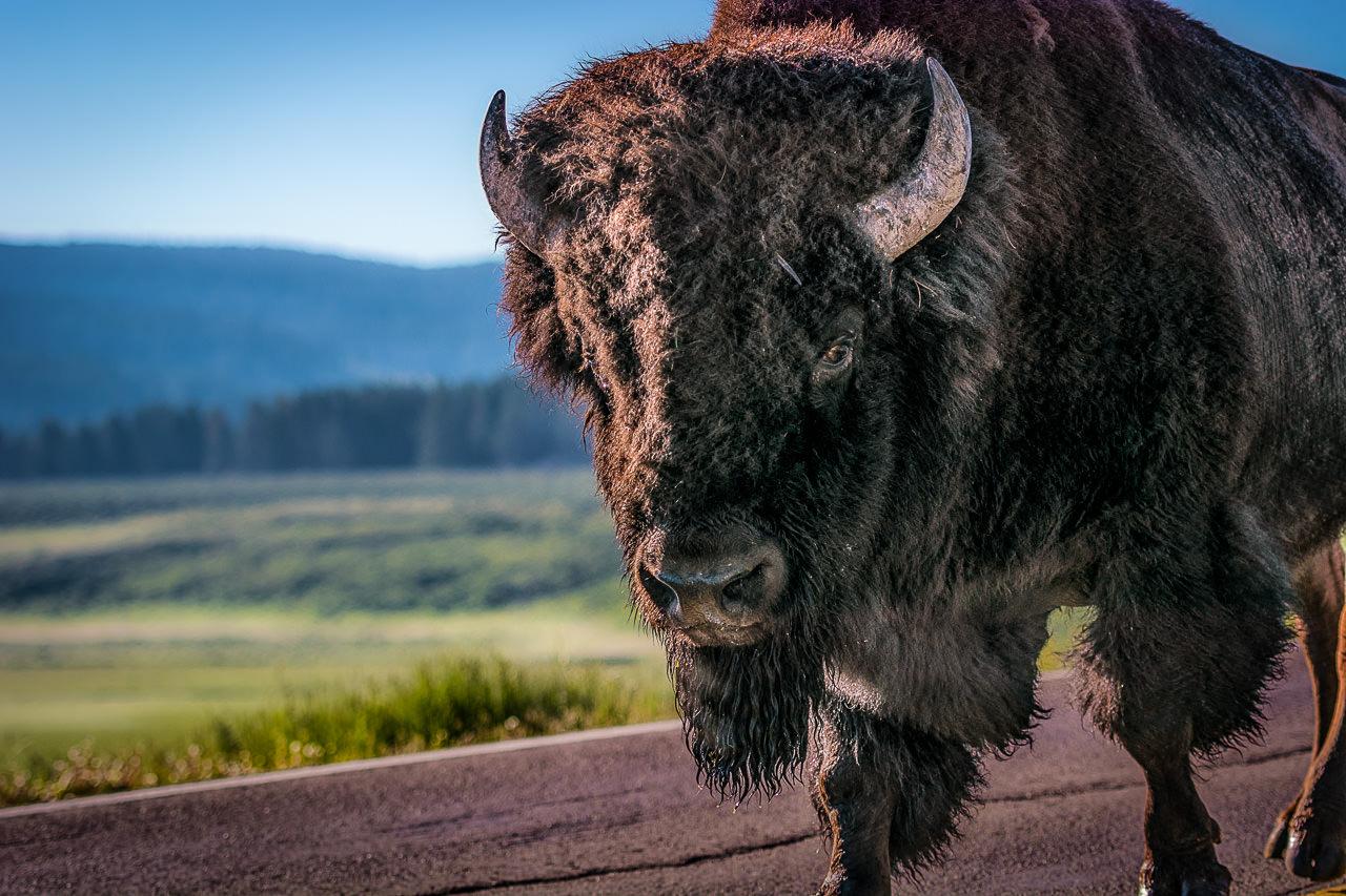 Bison Stare