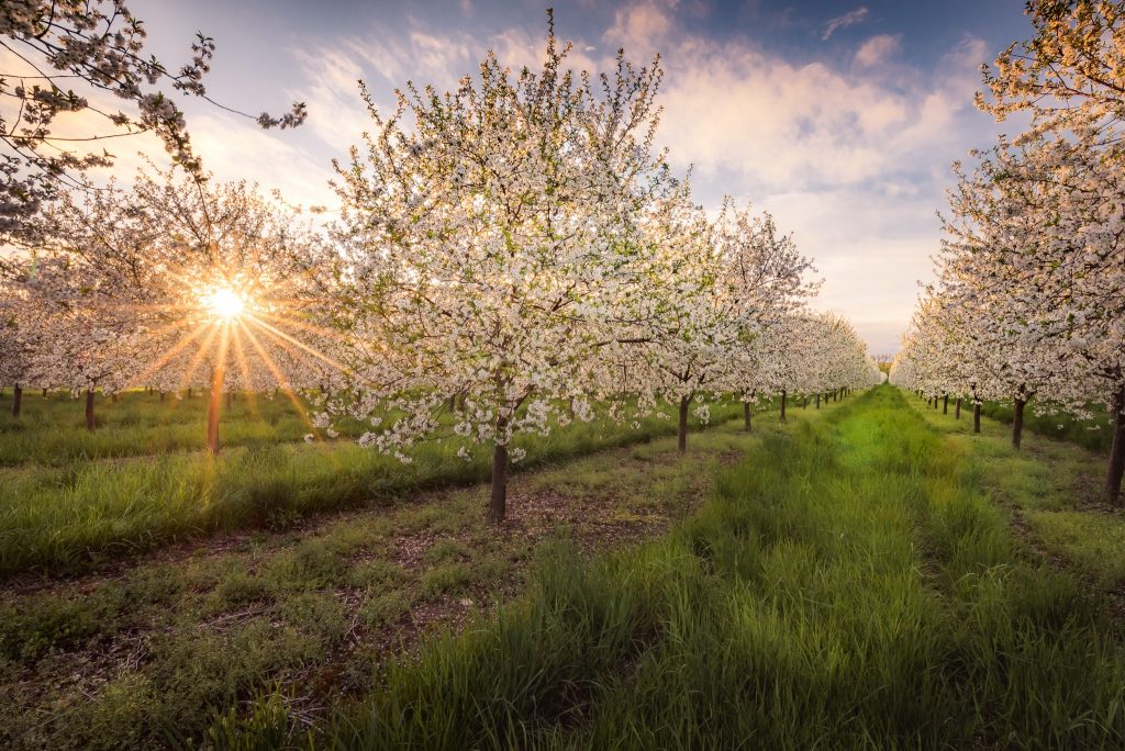 Shining-Through-the-Blossoms-1024x684.jpg