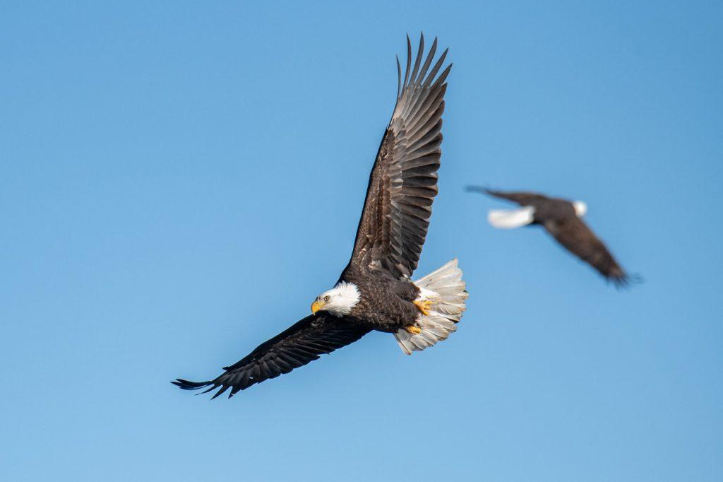 eagles, bald eagles, bald eagles blue sky, birds in flight, birds in flight camera settings