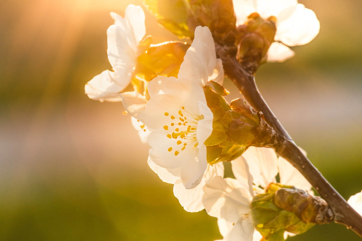 cherry blossoms in the sunlight